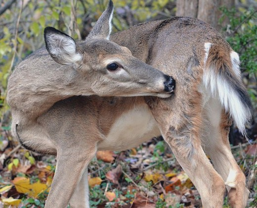 Hmm. I'm pretty sure that white-tailed doe is sending the photographer a message!