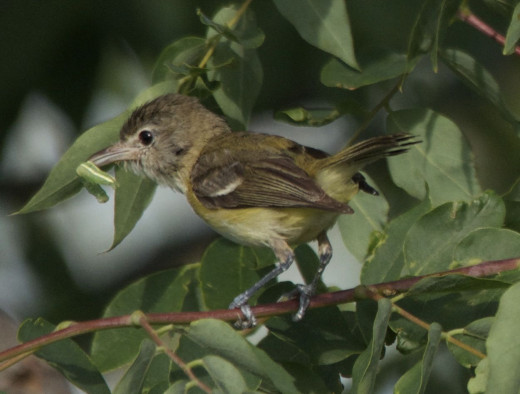 Bell's Vireo with Worm for the Nestlings
