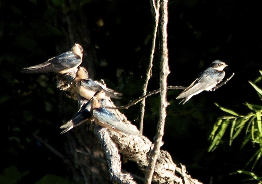 Five Barn Swallows at Rest