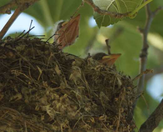 Scissor-tailed Flycatchers Recently Hatched