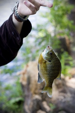 Catching a bluegill with a hand line.