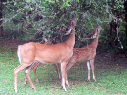 A deer and two fawns feeding on foliage