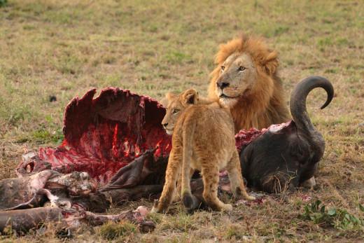 Lions eating an African buffalo