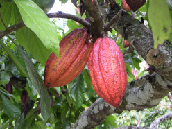 Did you know that Chocolate comes from a Pod which grows on The Cacao Tree in the tropics.