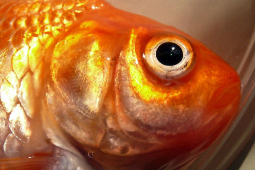Up close and personal with a Butterfly goldfish