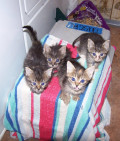 Feline Leukemia: The Heartbreak Litter