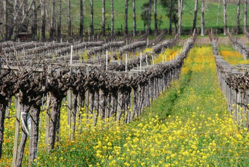 Mendocino County vineyard