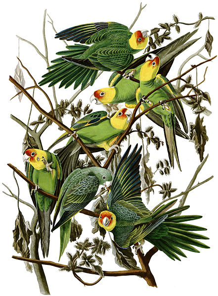 We once had many Carolina Parakeets (Conuropsis carolinensis) in Ohio. The last one in captivity died at the Cincinnati Zoo in 1918.