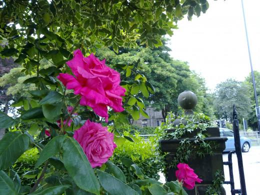Pink Roses N97