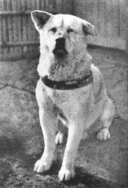 Hachiko was an Akita who became famous for his faithfulness.