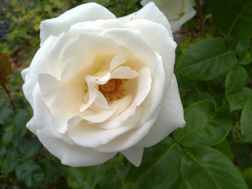 White Rose N97