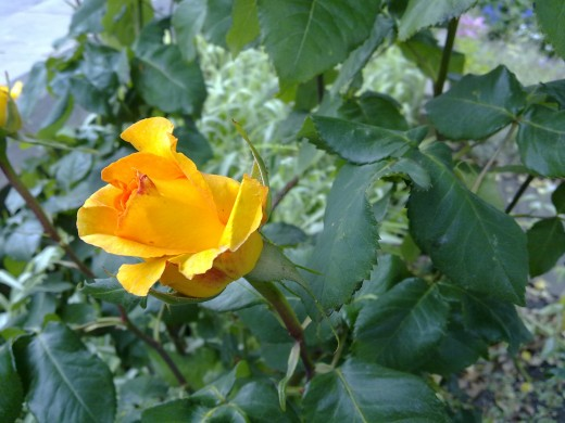 Yellow Rose  N97