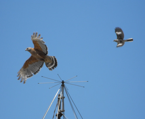 Red-shouldered Hawk (Buteo lineatus) being attacked by a Northern Mockingbird (Mimus polyglottos), Lemon Grove, California, USA.