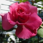 roseflr profile image