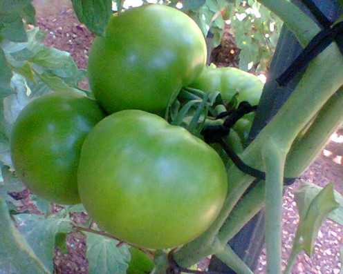 New season of tomatoes