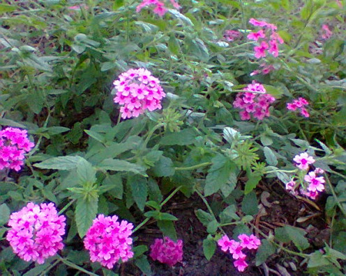 A  ground cover plant with pink flowers