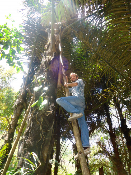Palm Wine production in Bajawa, Flores