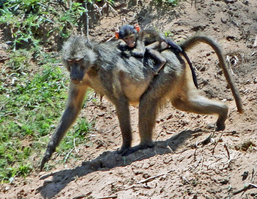 Chacma Baboon with young jockey in training