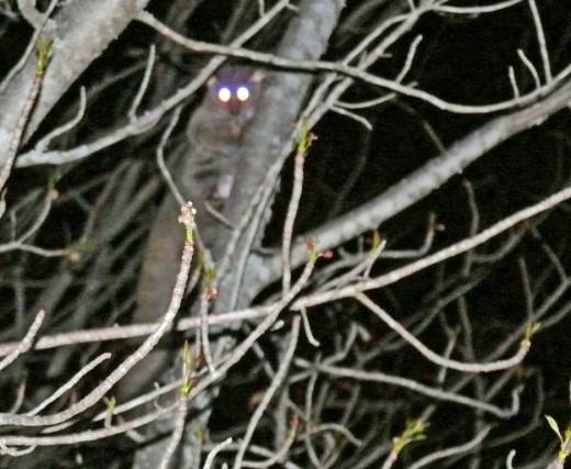 Bushy-tailed Bush Baby