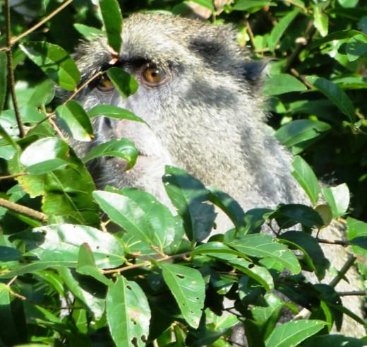 Watching us, Sykes or Samango Monkey