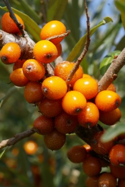 Sea Buckthorn And Omega 7