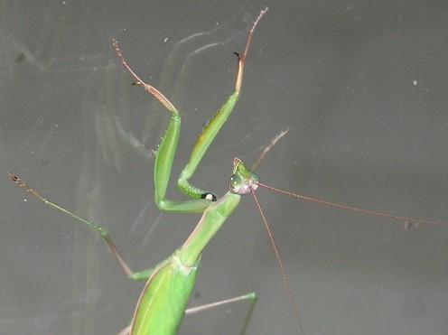 Praying Mantis / Peeping Tom