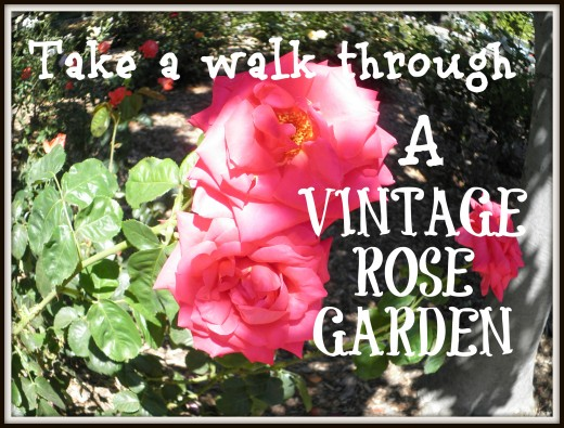 A vintage rose garden with photos at Shinn Park in Fremont, Ca.