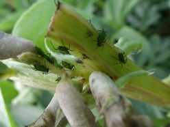 What are these green bugs on the broadbeans?