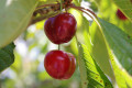 How Cheribundi Cherry Juice Improves Health
