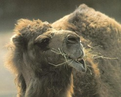 Why Are the Pennsylvania Amish Raising Camels for Camel Milk? The Benefits of Camel Milk.