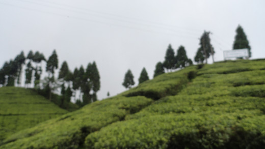 Rolling tea gardens on the way from Mirik to Pashupati Market