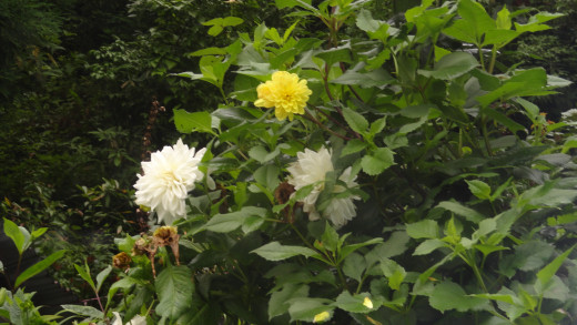 Roadside flowers in Darjeeling