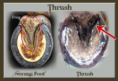 Hoof Thrush