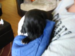 Newborn Puppies are helpless. This one's mine - Shylock.