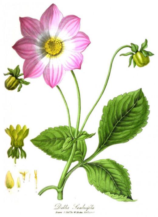 One of the older varieties that helped to pioneer the varieties of today