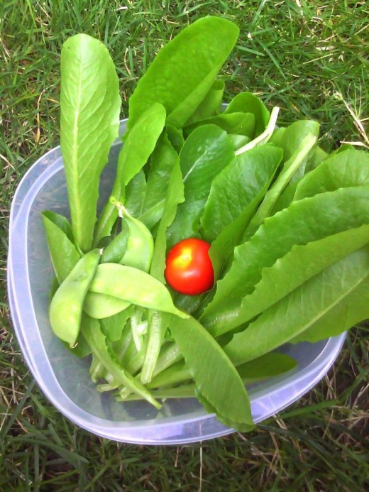 Our very first harvest, fresh lettuce, tomato, and beans!