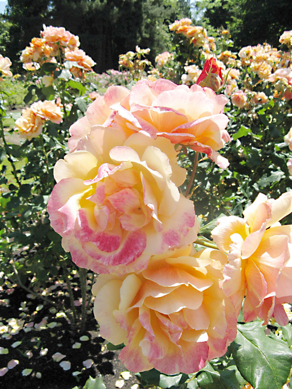 The Beautiful Stanley Park Rose Garden In Vancouver Bc