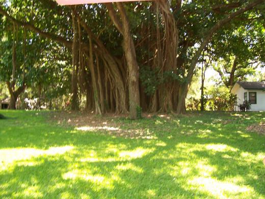 Huge Tree In Flamingo Gardens