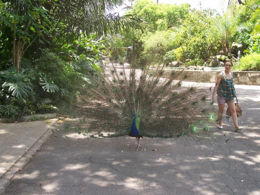 Peacock At Flamingo Gardens