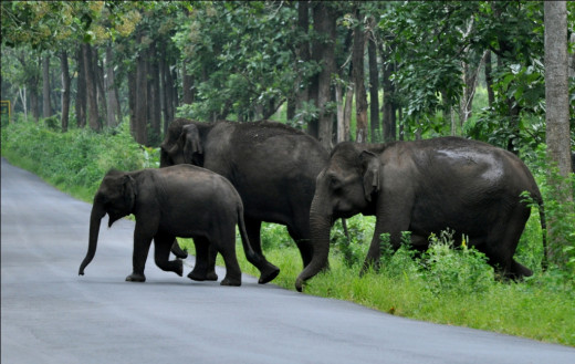 Elephants crossing a road passing through a forest