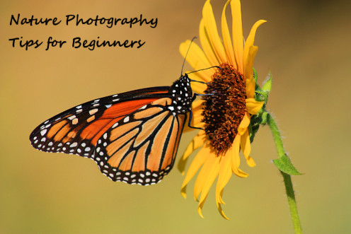 Beautiful Monarch butterfly snacking on yellow sunflower.