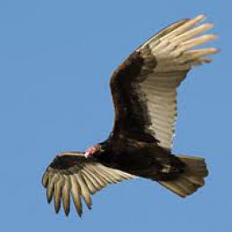 Turkey Vulture Soaring with wings in typical shallow 'v' configuration to hold the bird aloft at low altitudes.