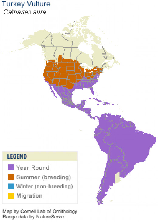 Turkey Vultures are common all over the Americas.