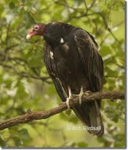 Turkey Vulture roosting on a tree branch.