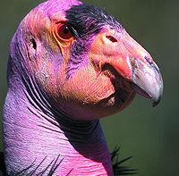 California Condor.