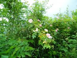 Wild Irish roses of hedgerows