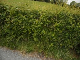 A typical hedgerow