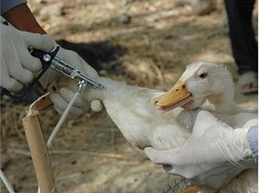 Vaccinating ducks
