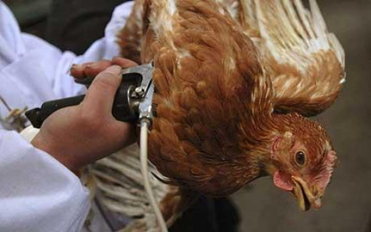 Vaccinating chickens