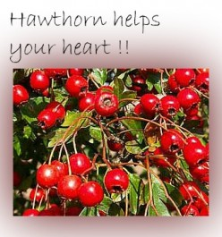 Hawthorn And Its Health Benefits